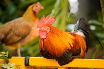 Птица для хозяйства